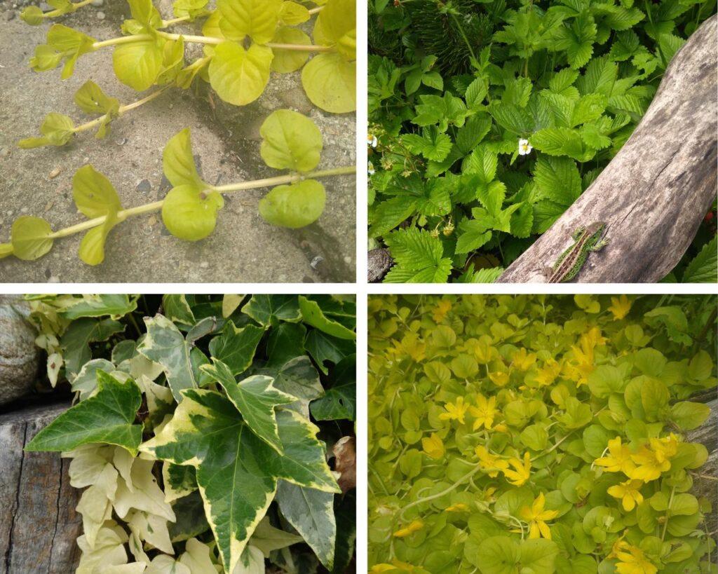 Rośliny zadarniające